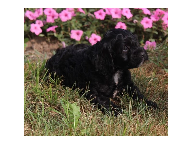 Poodle/Cocker Spaniel-Male-Black / White-2863055-Petland Naperville