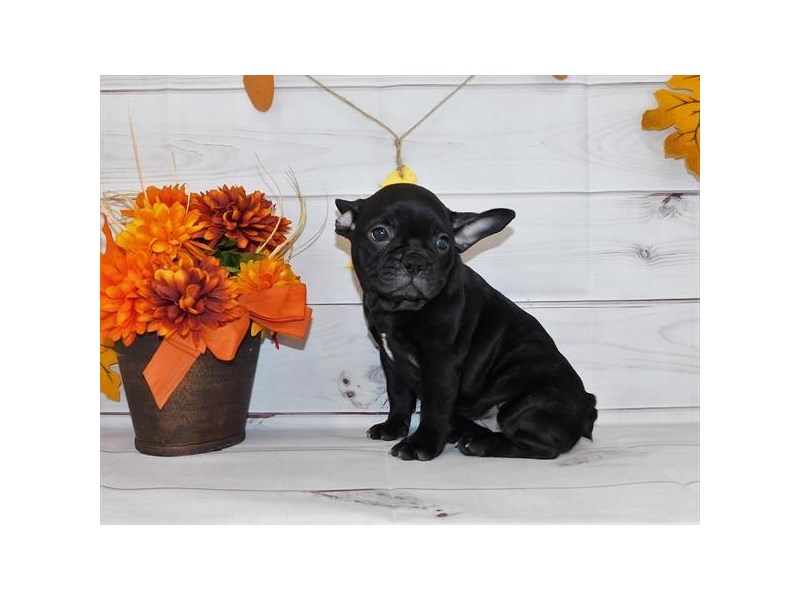 French Bulldog-Female-Black Brindle-2863424-Petland Naperville