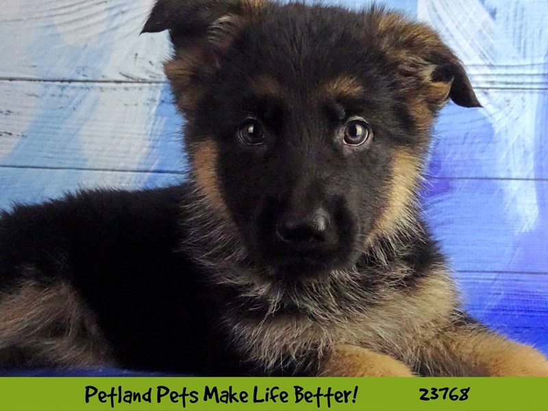 German Shepherd Dog-Male-Black / Tan-2863053-Petland Naperville