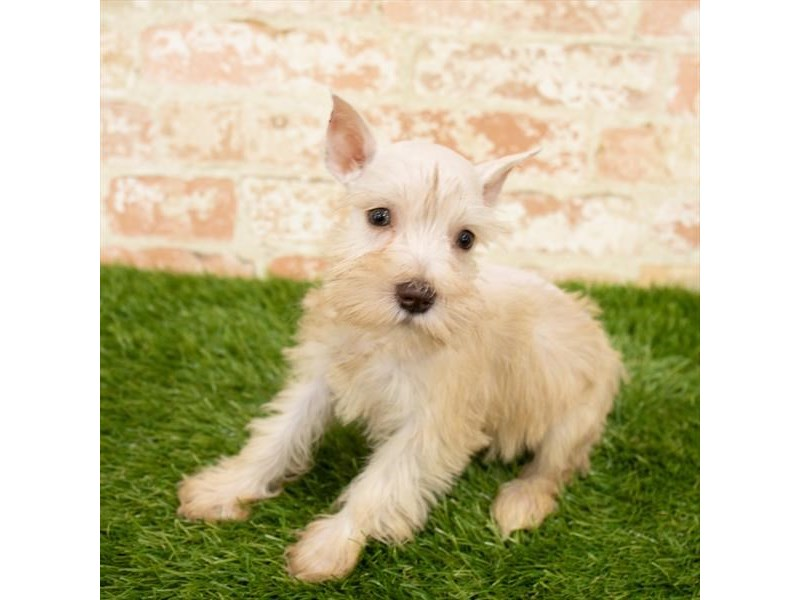 Miniature Schnauzer-Female-Cream-2865115-Petland Naperville