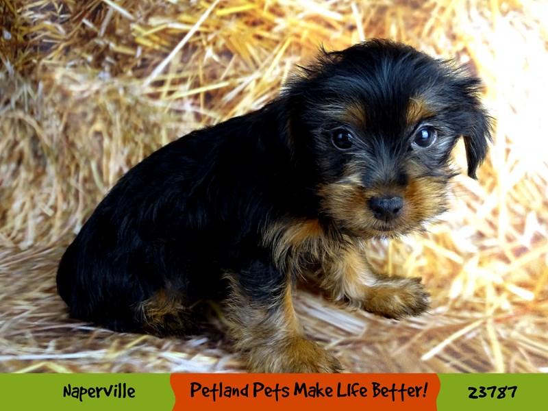 Yorkshire Terrier-Female-Black / Tan-2870902-Petland Naperville