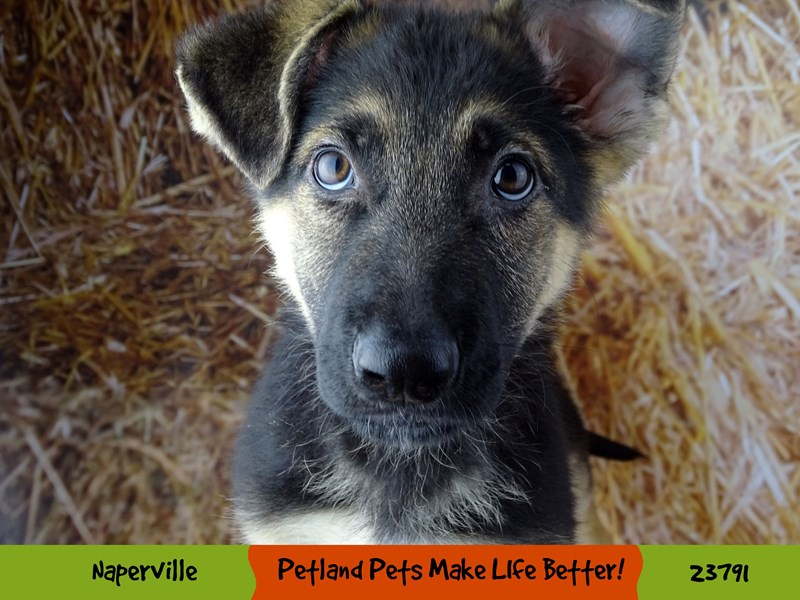 German Shepherd Dog-Male-Black / Tan-2848700-Petland Naperville
