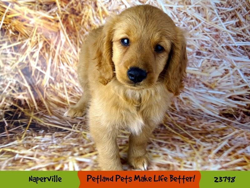 2nd Generation Mini Goldendoodle-DOG-Female-Red-2871188-Petland Naperville