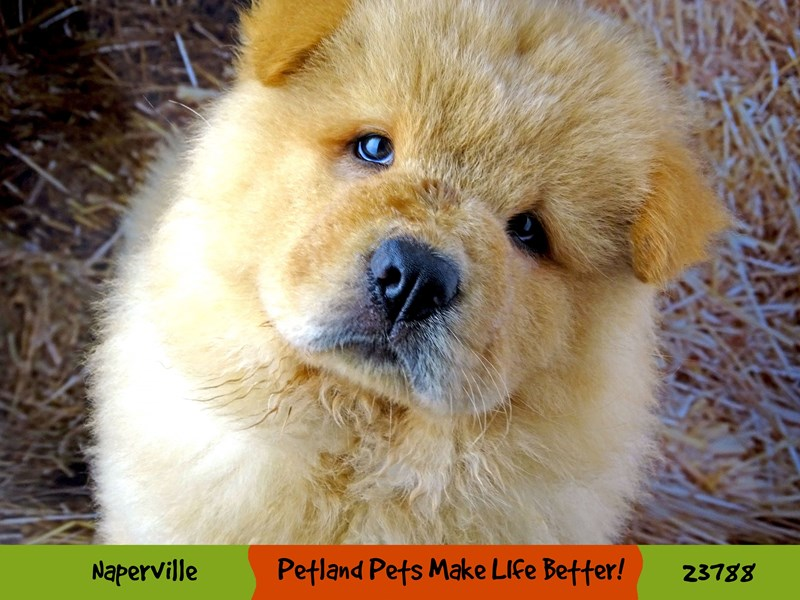 Chow Chow-Male-Cinnamon-2870900-Petland Naperville