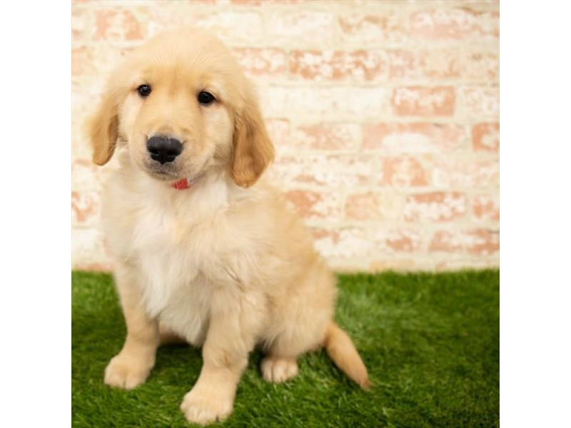 Golden Retriever-Male-Golden-2872349-Petland Naperville