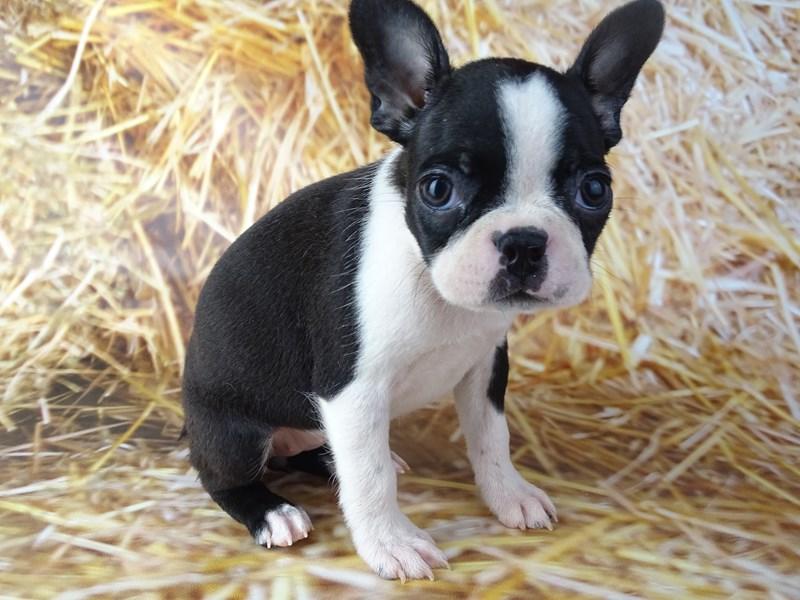Boston Terrier-DOG-Female-Black and White-2871031-Petland Naperville