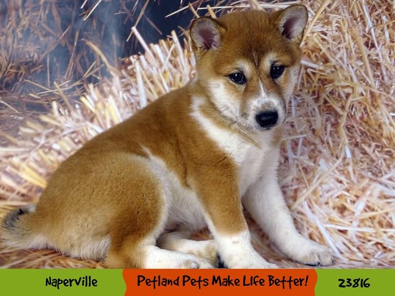 Shiba Inu-Female-Red / White-2877610-Petland Naperville