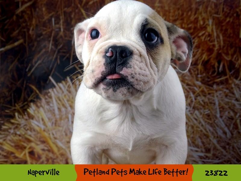 English Bulldog-Male-White / Brown-2877676-Petland Aurora