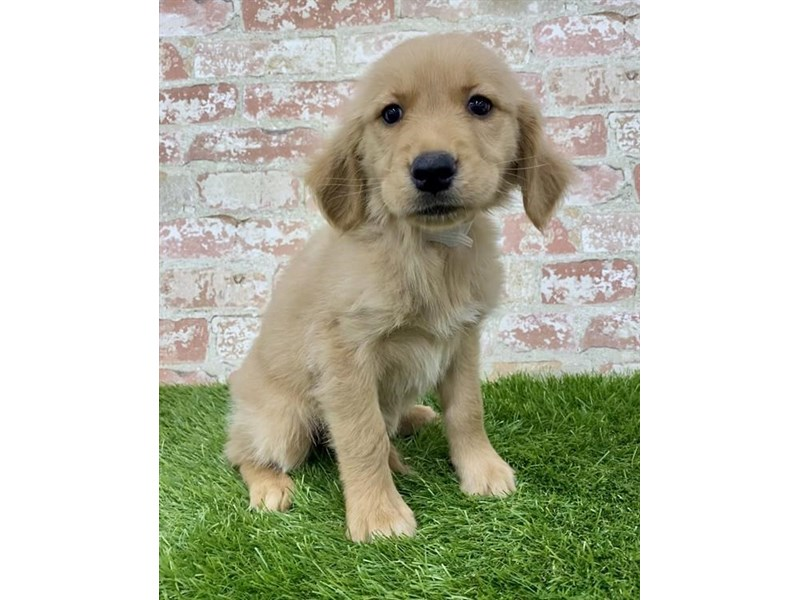 Golden Retriever-Female-Golden-2879518-Petland Naperville