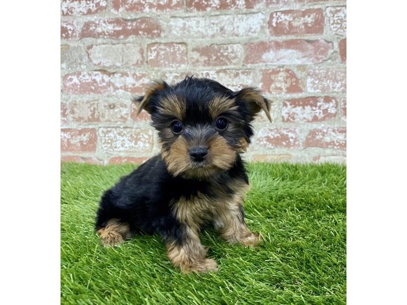 Yorkshire Terrier-Female-Black / Tan-2885942-Petland Naperville
