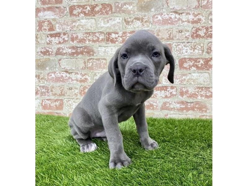 Cane Corso-DOG-Male-Blue-2885943-Petland Naperville