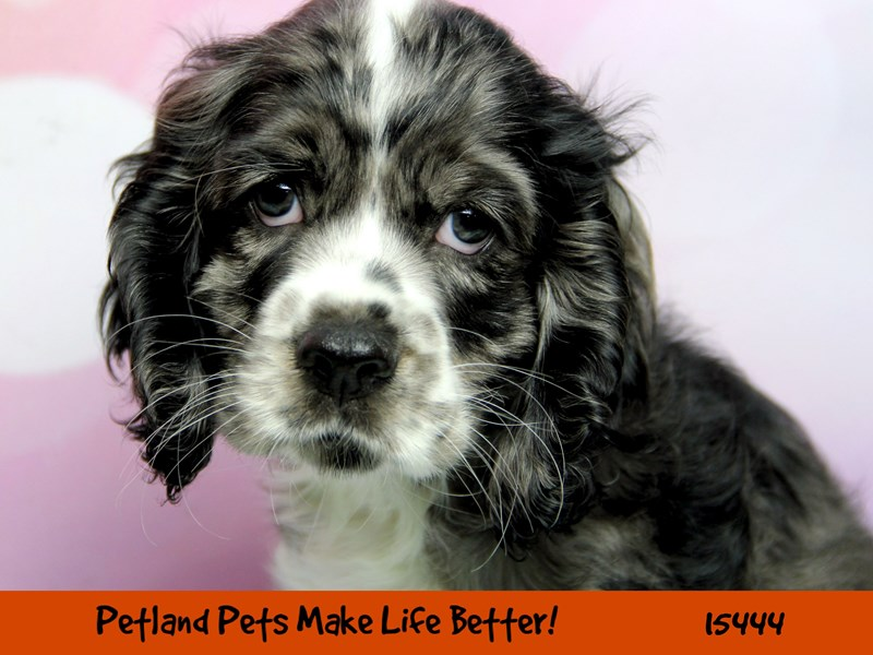 Cocker Spaniel-Male-Blue / White-2826628-Petland Aurora