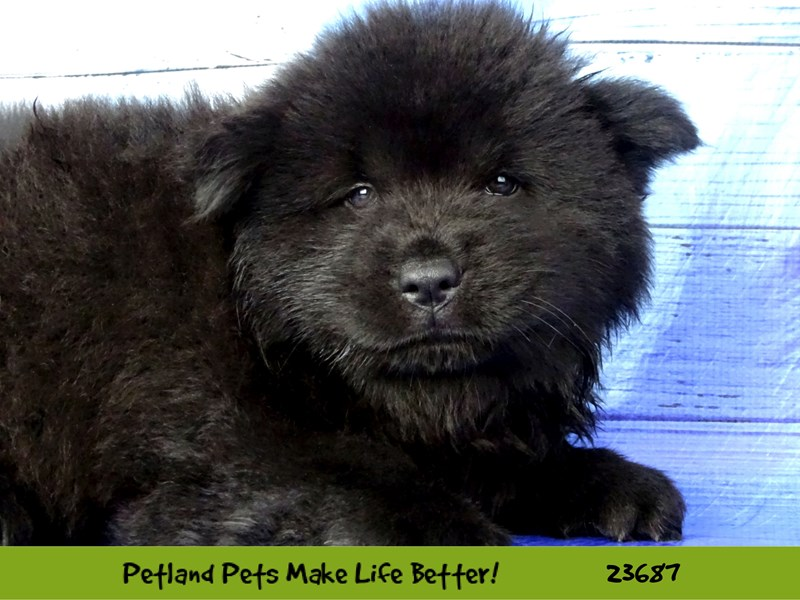 Chow Chow-DOG-Male-Black-2833375-Petland Naperville