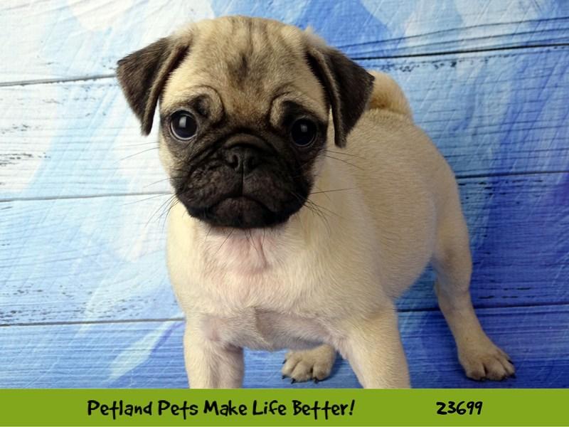 Pug-Female-Fawn-2835228-Petland Naperville
