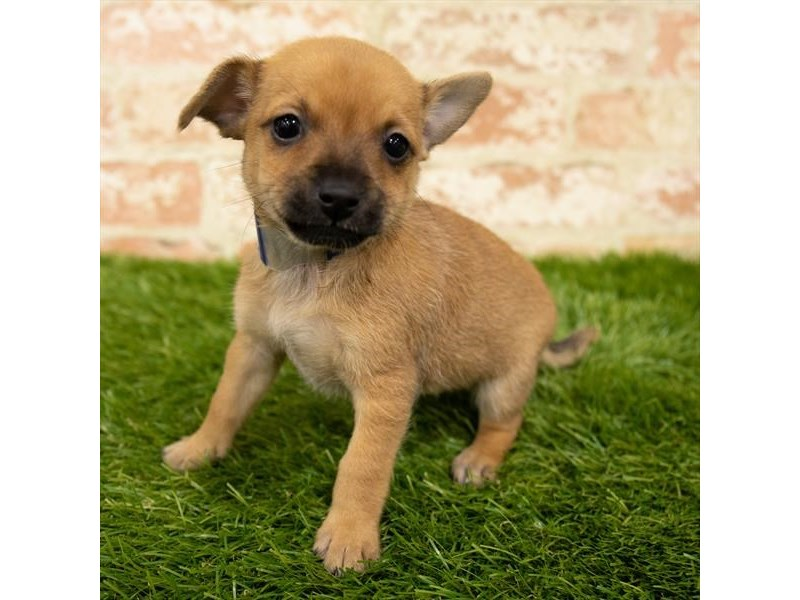 Chiweenie-DOG-Female-Fawn-2835839-Petland Naperville