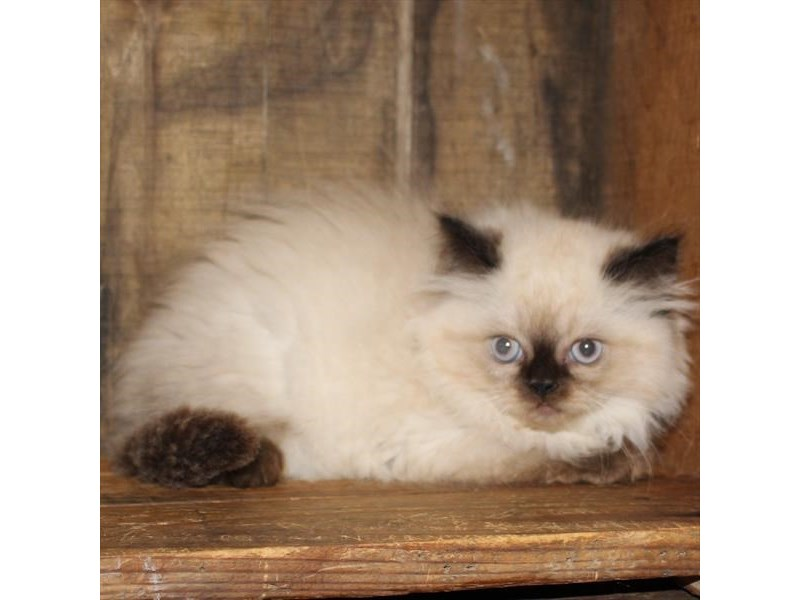 Persian-CAT-Male-Seal Point-2835848-Petland Naperville