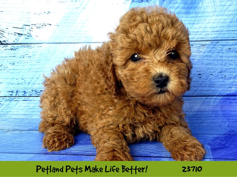 Poodle-DOG-Female-Red-2840968-Petland Naperville