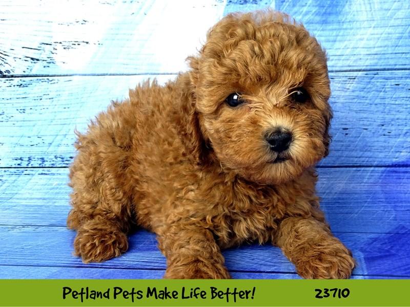 Poodle-Female-Red-2840968-Petland Aurora