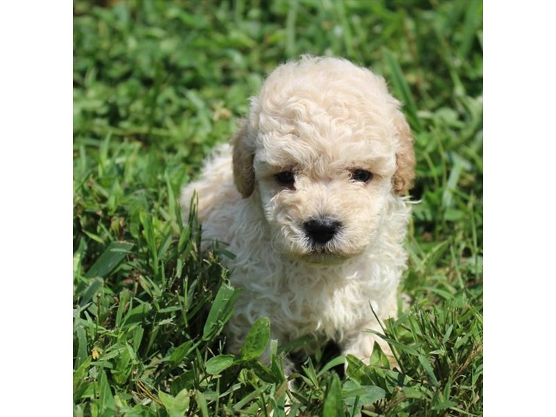 Poodle-Male-Cream-2848600-Petland Naperville
