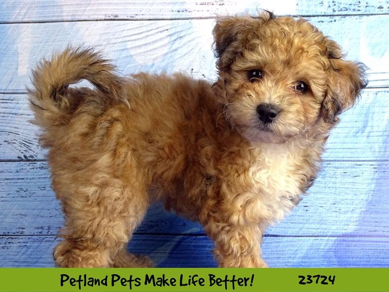Bichon/Poodle-DOG-Female-Merle-2848484-Petland Naperville