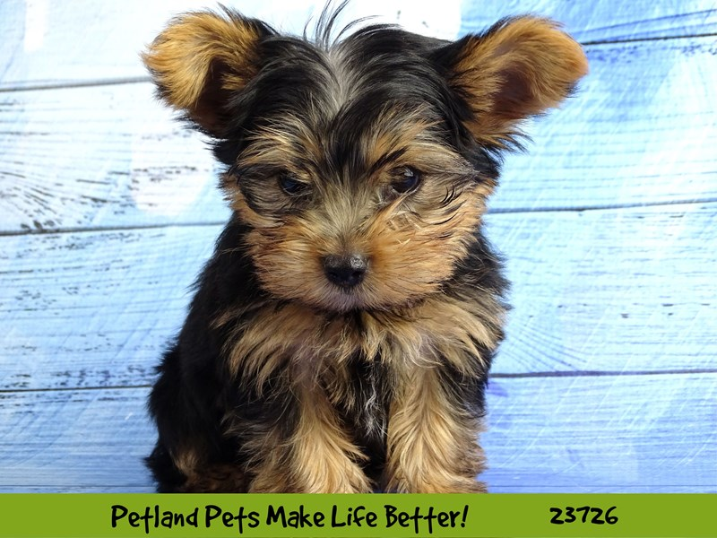 Yorkshire Terrier-Male-Black / Tan-2848489-Petland Naperville