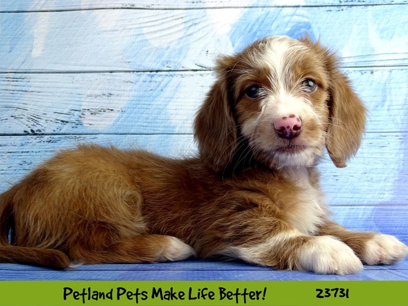 Dachshund-Male-Brown / White-2848478-Petland Naperville