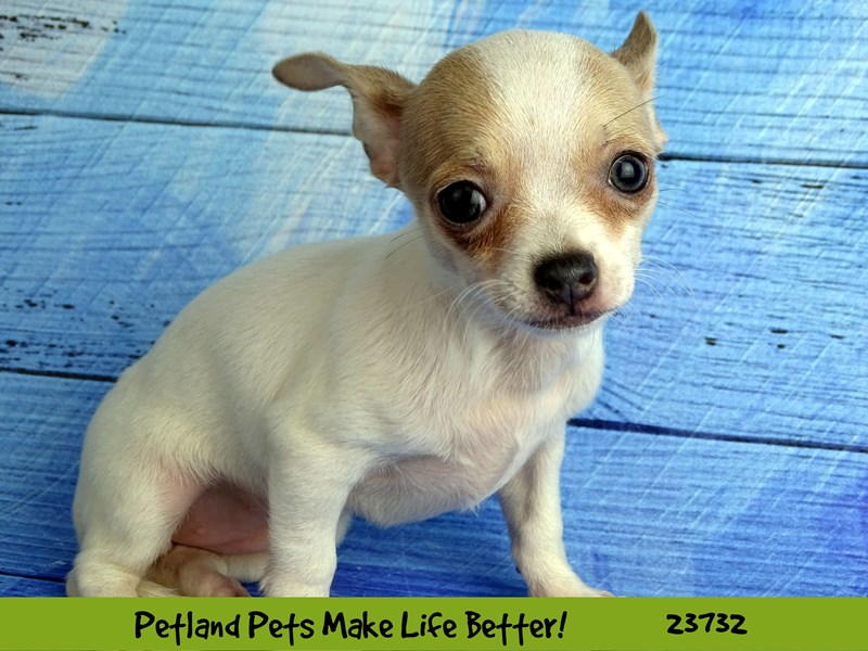 Chihuahua-Female-Blue / White-2848480-Petland Naperville