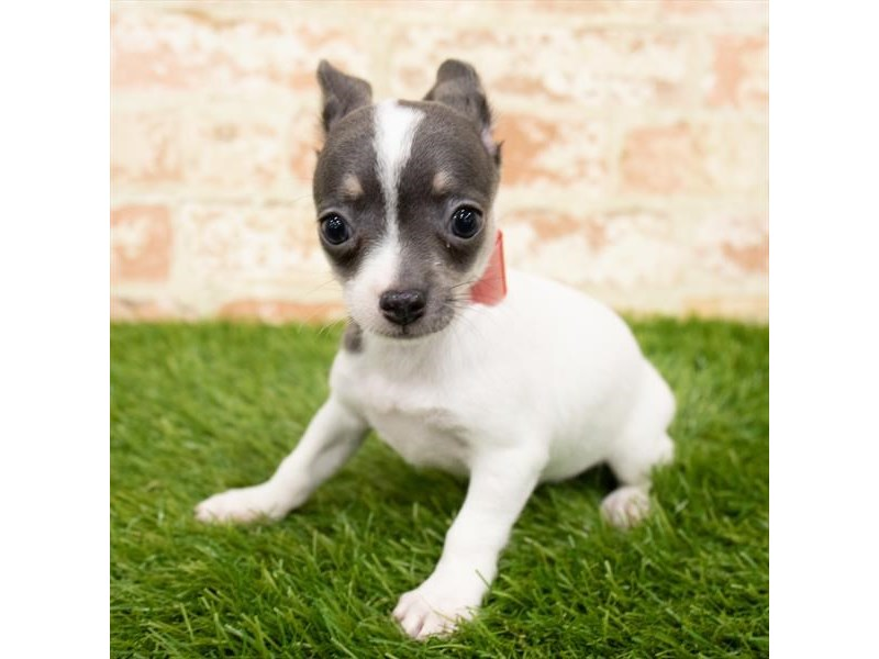Chihuahua-Female-Blue-2850317-Petland Naperville
