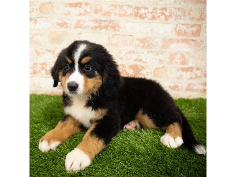 Bernese Mountain Dog-Female-Black Tan / White-2851006-Petland Aurora