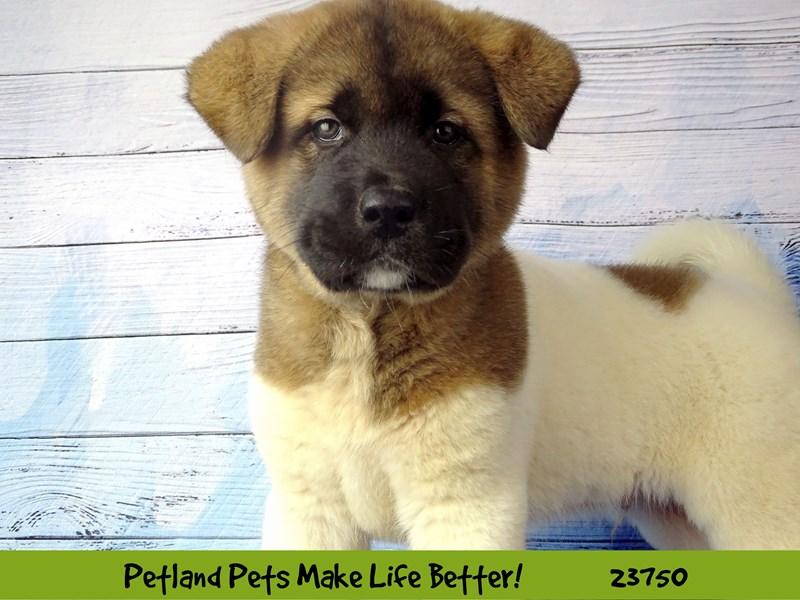 Akita-Male-White / Brown-2856438-Petland Naperville