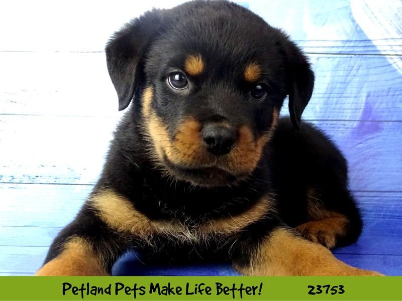 Rottweiler-Male-Black / Mahogany-2856516-Petland Aurora