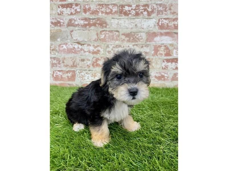 Yorkiepoo-DOG-Male-Black / Tan-2857861-Petland Naperville