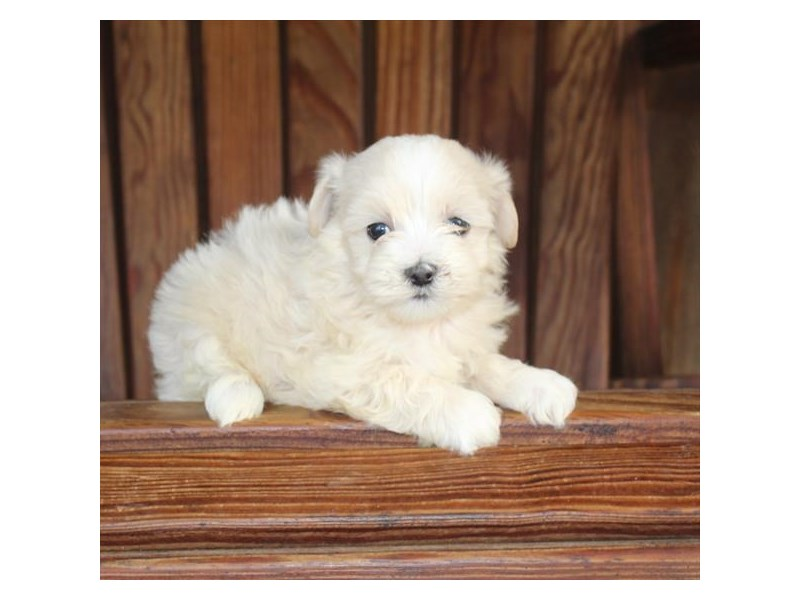 Poodle/Maltese-DOG-Male-Cream / White-2863022-Petland Naperville