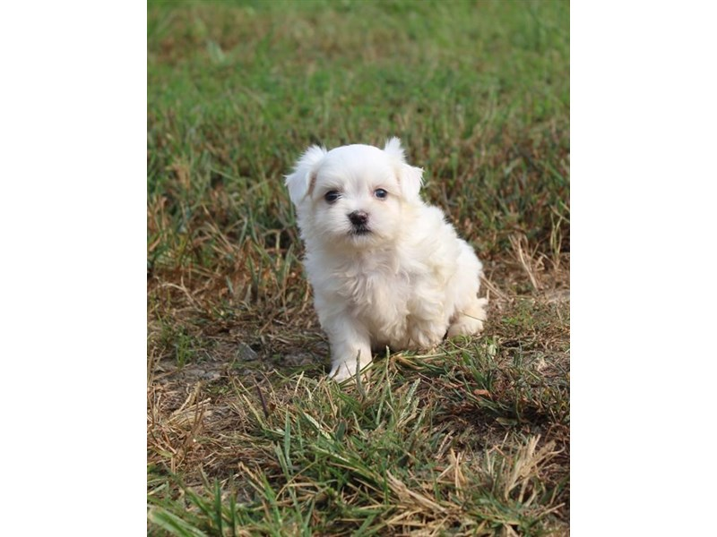 Maltese-Male-White-2863023-Petland Aurora