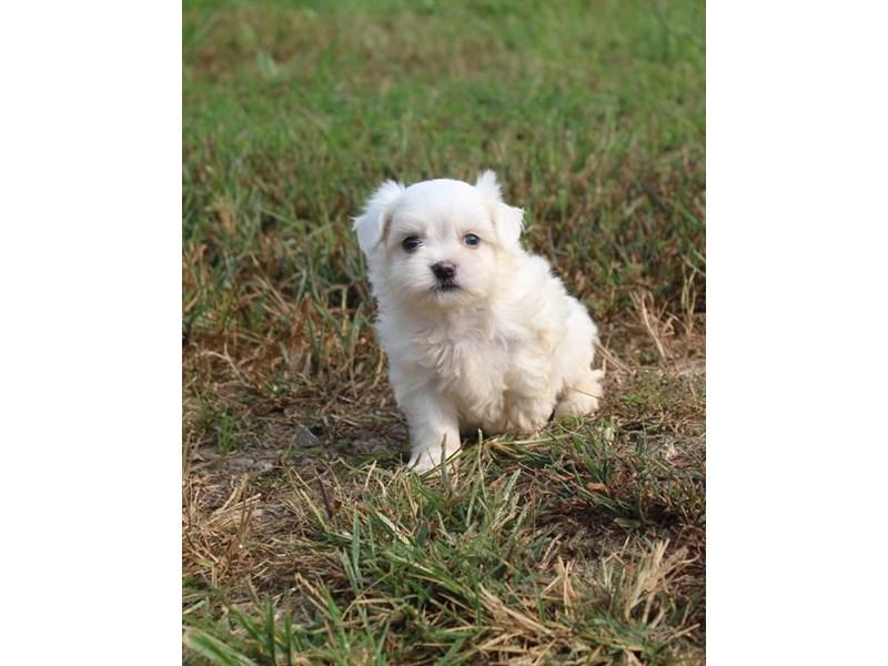 Maltese-DOG-Male-White-2863023-Petland Naperville