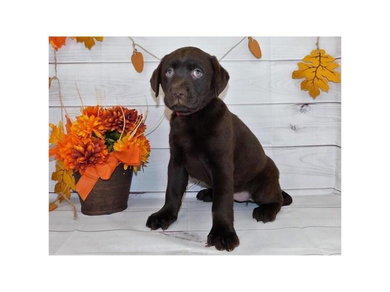 Labrador Retriever-Female-Chocolate-2863422-Petland Naperville