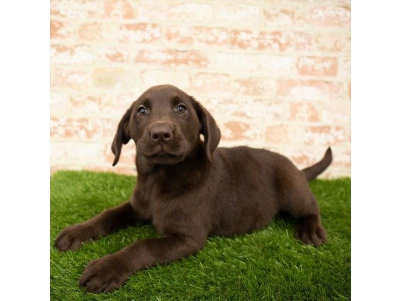 Labrador Retriever-Female-Chocolate-2865110-Petland Naperville