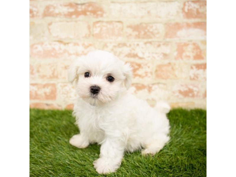 Maltese-Male-White-2865136-Petland Aurora