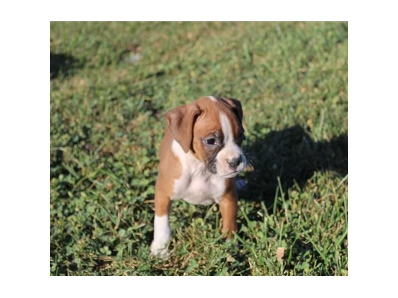 Boxer-Female-Fawn / White-2870899-Petland Aurora