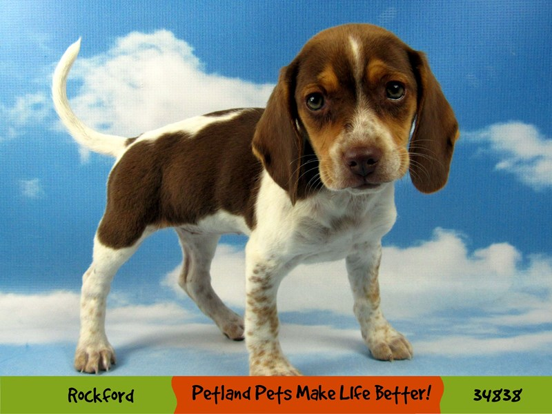 Beagle-Female-Red / White-2870141-Petland Aurora