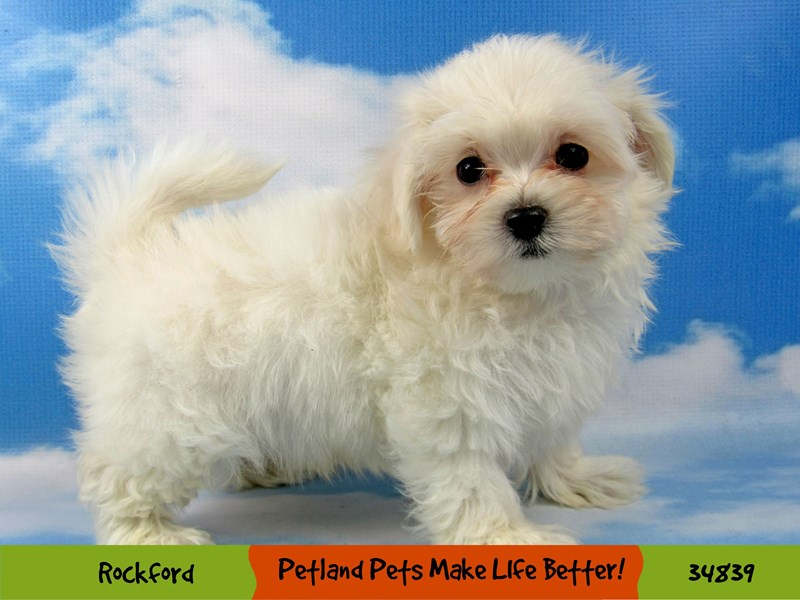 Maltese-Male-White-2870144-Petland Aurora