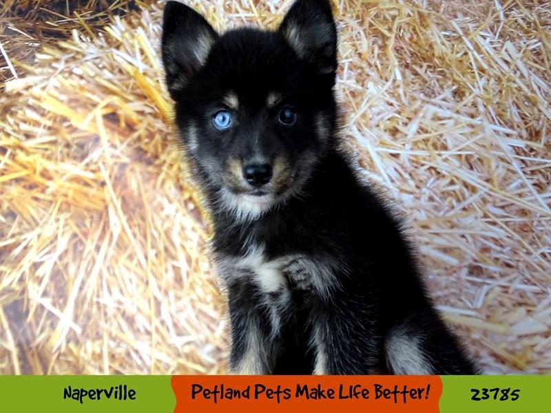 Pomsky-Female-Black / White-2870903-Petland Aurora