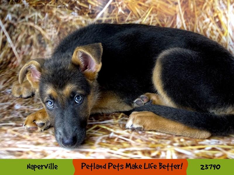 German Shepherd Dog-Female-Blue / Tan-2856579-Petland Aurora