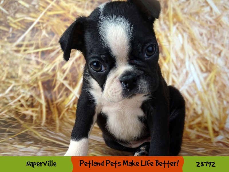 Boston Terrier-Male-Black and White-2871028-Petland Aurora