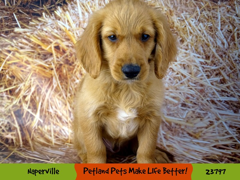 2nd Generation Mini Goldendoodle-DOG-Male-Red-2871182-Petland Naperville