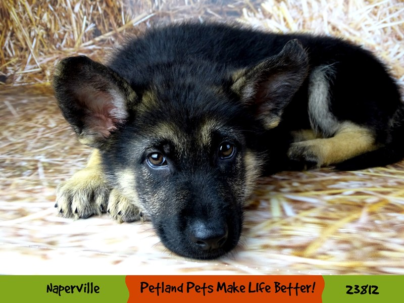 German Shepherd Dog-Female-Black / Tan-2877601-Petland Aurora