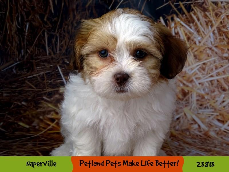 Shih Tzu/Bichon-DOG-Female-Brown / White-2877604-Petland Naperville