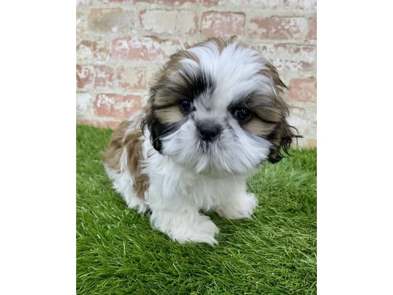 Shih Tzu-DOG-Male-Gold / White-2879540-Petland Naperville
