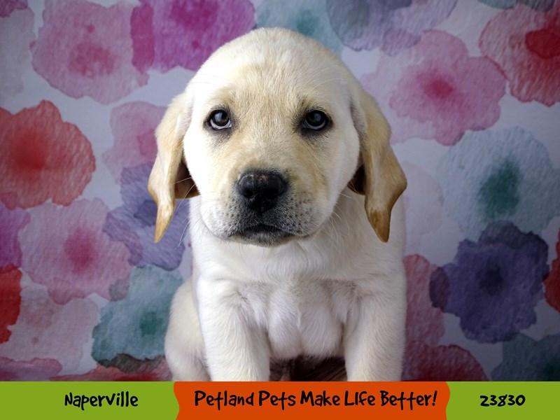 Labrador Retriever-Male-Yellow-2884366-Petland Naperville