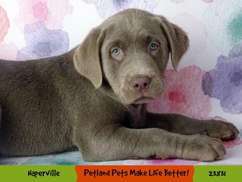 Labrador Retriever-DOG-Male-Silver-2884421-Petland Naperville